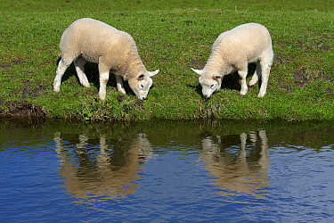 Domestic Sheep (Ovis aries) pair of lambs grazing at edge of ditch, Netherlands  -  Aad Schenk/ NiS