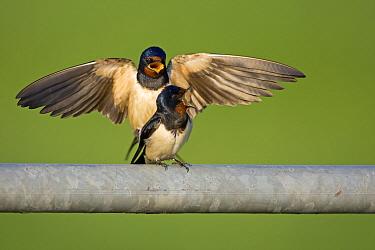 Barn Swallow (Hirundo rustica) couple mating, Netherlands  -  Winfried Wisniewski