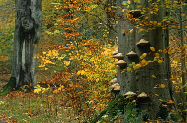 Touchwood Fungus (Fomes fomentarius) on European Beech (Fagus sylvatica), Noord-Holland, Netherlands  -  Frits van Daalen/ NiS