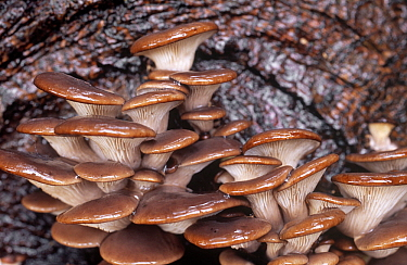 Oyster Mushroom (Pleurotus ostreatus) group on tree trunk, Bloemendaal, Noord-Holland, Netherlands  -  Frits van Daalen/ NiS