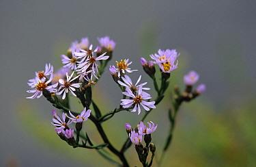 Sea Aster (Aster tripolium) flowers, Ile D'Oleron, France  -  Frits van Daalen/ NiS