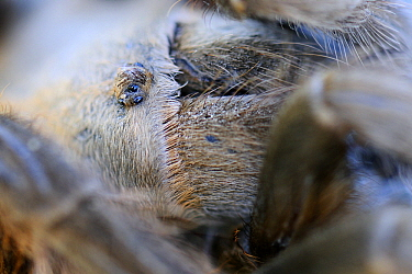 Texas Brown Tarantula (Aphonopelma hentzi) eyes, George West, Texas  -  Jasper Doest