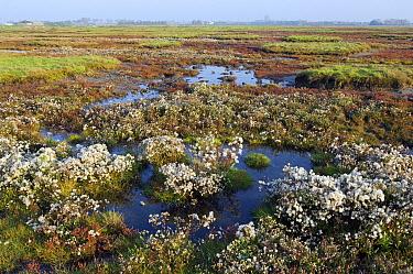 Sea Aster (Aster tripolium) in brackish meadows, Prunjepolder, Zeeland, Netherlands  -  Jan Vink/ NiS