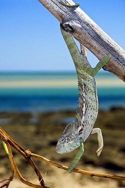 Spiny Chameleon (Chamaeleo verrucosus) hanging from a branch, Belo-sur-Mer, Menabe, Madagascar  -  Vincent Grafhorst