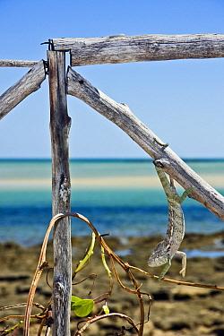 Spiny Chameleon (Chamaeleo verrucosus) hanging from wooden fence near beach, Menabe, Madagascar  -  Vincent Grafhorst