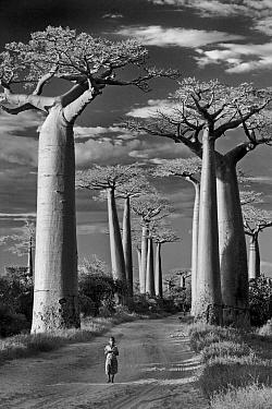 Grandidier's Baobab (Adansonia grandidieri) with child on road, Avenue of the Baobabs, Morondava, Menabe, Madagascar  -  Vincent Grafhorst