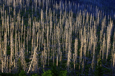 Spruce (Picea sp) forest killed by Pine Shoot Beetles (Tomicus piniperda)  -  Steven Ruiter/ NIS