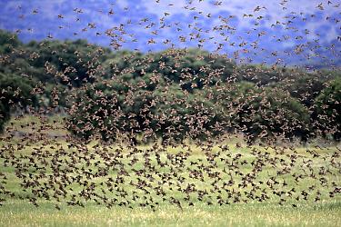Spanish Sparrow (Passer hispaniolensis) flock flying above field, Monroy, Extremadura, Spain  -  Steven Ruiter/ NIS