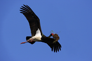 Black Stork (Ciconia nigra) flying with nesting material, Monfraque National Park, Extremadura, Spain  -  Steven Ruiter/ NIS