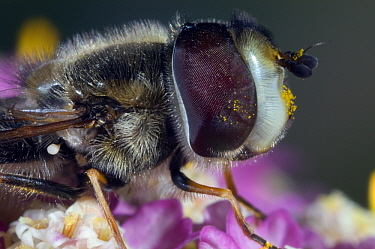 Hoverfly (Scaeva pyrastri) with traces of pollen, Netherlands  -  Jef Meul/ NIS