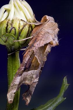 Angle Shades (Phlogophora meticulosa) moth on flower bud, Netherlands  -  Jef Meul/ NIS