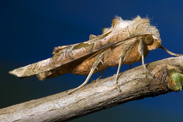 Angle Shades (Phlogophora meticulosa) moth, Netherlands  -  Jef Meul/ NIS