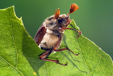 Common Cockchafer (Melolontha melolontha) on a leaf, Netherlands  -  Jef Meul/ NIS