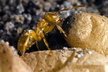 Yellow Turf Ant (Lasius flavus) with pupae, Netherlands  -  Jef Meul/ NIS