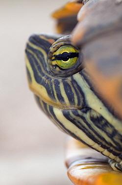 Red-eared Slider (Trachemys scripta elegans) turtle head, Texas  -  Marcel van Kammen/ NiS