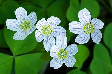 Wood Sorrel (Oxalis acetosella) flowers, Bartenshagen, Mecklenburg Vorpommern, Germany  -  Willi Rolfes/ NIS