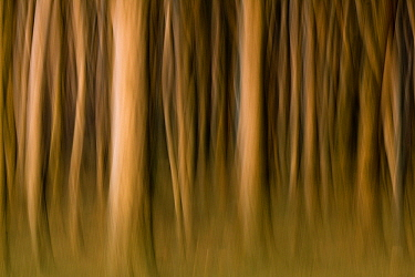 European Beech (Fagus sylvatica) abstracted trunks in forest, Nienhagen, Mecklenburg Vorpommern, Germany  -  Willi Rolfes/ NIS