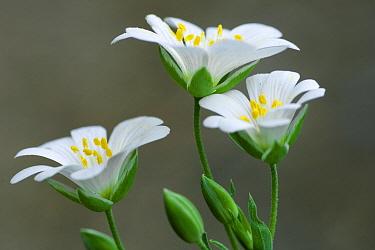 Three-nerved Sandwort (Moehringia trinervia) flowers, Bad Doberan, Mecklenburg-Vorpommern, Germany  -  Willi Rolfes/ NIS