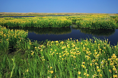 Yellow Iris (Iris pseudacorus) flowering at the edge of coastal lagoon, Texel, Netherlands  -  Duncan Usher