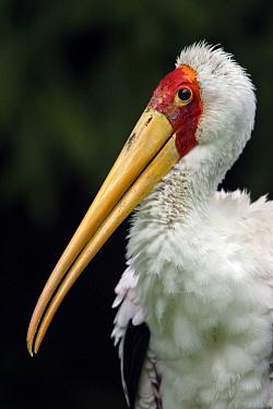 Yellow-billed Stork (Mycteria ibis), Africa  -  Duncan Usher