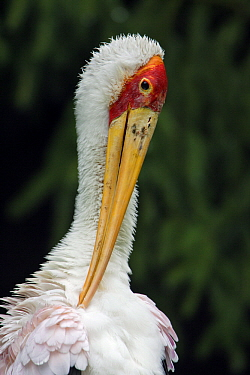 Yellow-billed Stork (Mycteria ibis) preening, Africa  -  Duncan Usher