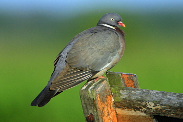 Common Wood-pigeon (Columba palumbus) on sign post, Texel, Netherlands  -  Duncan Usher