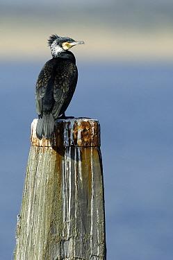 Great Cormorant (Phalacrocorax carbo), Brouwersdam, Zeeland, Netherlands  -  Jan Baks/ NiS