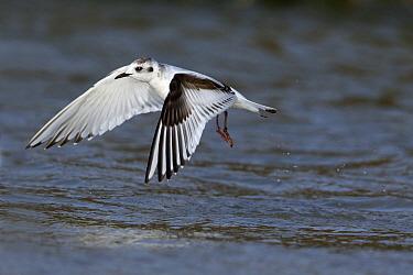 Little Gull (Hydrocoloeus minutus) taking flight from water, Noord-Holland, Netherlands  -  Lesley van Loo/ NiS