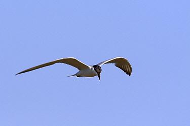 Gull-billed Tern (Gelochelidon nilotica) flying, Spain  -  Lesley van Loo/ NiS