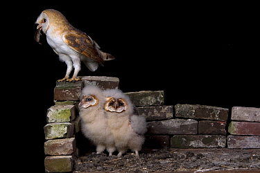 Barn Owl (Tyto alba) with a mouse for its chicks, Netherlands  -  Rob Reijnen / NiS