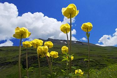 European Globeflower (Trollius europaeus), Hohe Tauern National Park, Austria  -  Willi Rolfes/ NIS