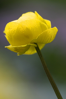 European Globeflower (Trollius europaeus) flower, Hohe Tauern National Park, Austria  -  Willi Rolfes/ NIS