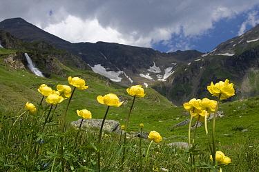 European Globeflower (Trollius europaeus) flowering in mountain meadow, Hohe Tauern National Park, Austria  -  Willi Rolfes/ NIS