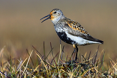 Dunlin (Calidris alpina) in breeding plumage standing in grass, Adventdalen, Svalbard, Norway  -  Jasper Doest