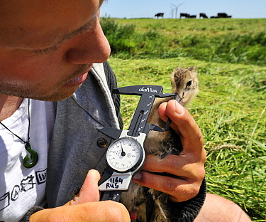 Black-tailed Godwit (Limosa limosa) chick being measured for research, Netherlands  -  Jasper Doest