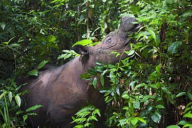 Sumatran Rhinoceros (Dicerorhinus sumatrensis) feeding in dense foliage, Sumatran Rhino Sanctuary, Way Kambas National Park, Sumatra, Indonesia  -  Stephen Belcher