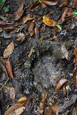 Sumatran Rhinoceros (Dicerorhinus sumatrensis) foot print, Sumatran Rhino Sanctuary, Way Kambas National Park, Sumatra, Indonesia  -  Stephen Belcher