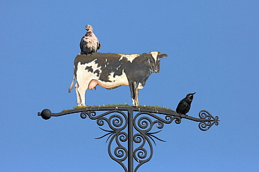 Eurasian Collared-Dove (Streptopelia decaocto) and Common Starling (Sturnus vulgaris) on a weather vane, Netherlands  -  Aad Schenk/ NiS