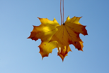 Norway Maple (Acer platanoides) leaves in autumn color, Netherlands  -  Aad Schenk/ NiS