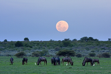 Blue Wildebeest (Connochaetes taurinus) herd grazing with rising moon, Central Kalahari Game Reserve, Deception Valley, Botswana  -  Vincent Grafhorst