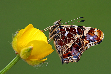 Map Butterfly (Araschnia levana) on flower, Hoogeloon, Noord-Brabant, Netherlands  -  Silvia Reiche