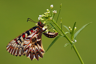 Southern Festoon (Zerynthia polyxena) butterfly on flower, France  -  Silvia Reiche
