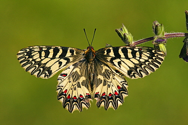 Southern Festoon (Zerynthia polyxena) butterfly, France  -  Silvia Reiche