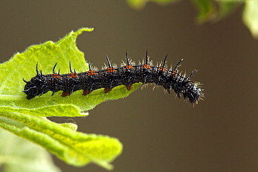 Mourning Cloak (Nymphalis antiopa) caterpillar, Netherlands  -  Silvia Reiche