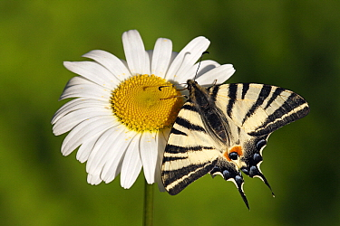 Scarce Swallowtail (Iphiclides podalirius) butterfly on Marguerite (Leucanthemum vulgare), Netherlands  -  Silvia Reiche