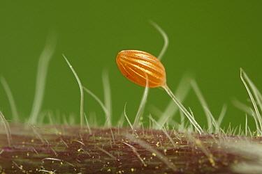 Orange Tip (Anthocharis cardamines) butterfly egg on Annual Honesty (Lunaria annua), Hoogeloon, Noord-Brabant, Netherlands  -  Silvia Reiche