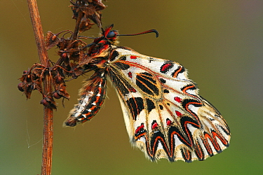 Southern Festoon (Zerynthia polyxena) butterfly on withered stalk, France  -  Silvia Reiche