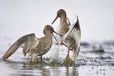 Common Redshank (Tringa totanus) pair fighting, Ackerdijkse Plassen, Pijnacker, Zuid-Holland, Netherlands  -  Gerard de Hoog/ NiS