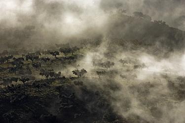 Holm Oak (Quercus ilex) forest on foggy hills seen from Penafalcon, Monfrague National Park, Caceres, Extremadura, Spain  -  Gerard de Hoog/ NiS