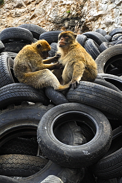 Barbary Macaque (Macaca sylvanus) pair grooming in tire dump, Rock of Gibraltar, Gibraltar  -  Simon Littlejohn/ NiS